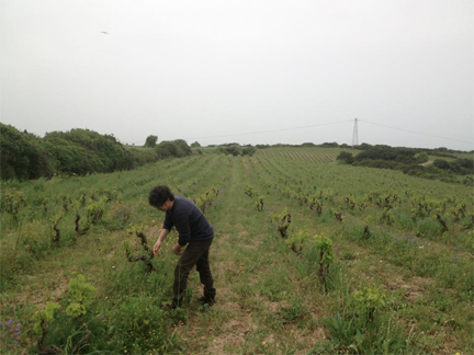 dettori vineyard
