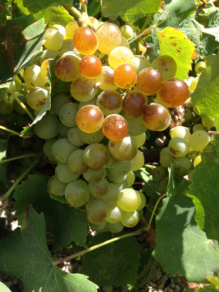assyrtiko grape bunch