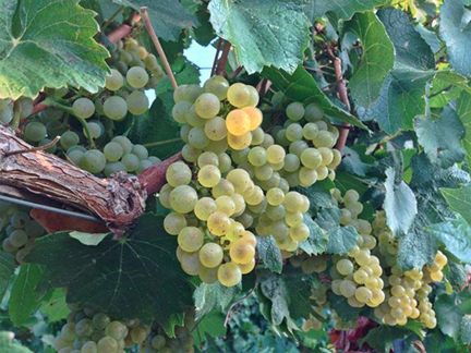 chardonnay southern italy