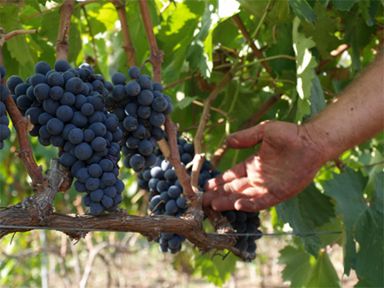 negroamaro grape bunch harvest