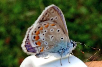 venica butterfly