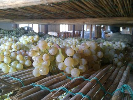 vin santo grapes trebbiano malvasia