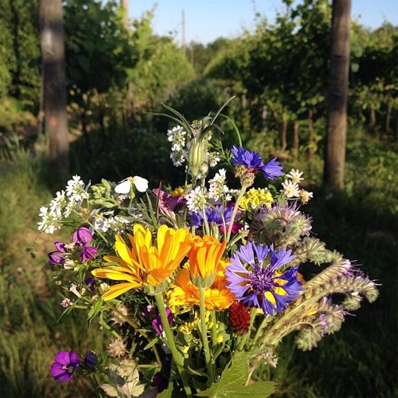blue bottle flower corn Cyanus segetum