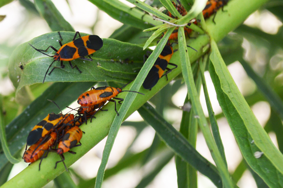 milkweed beetles insectary