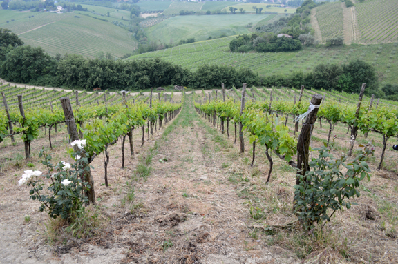 marche marches vineyards wine agriturismo