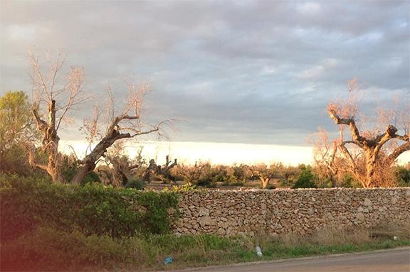 olive trees puglia xylella fastidiosa