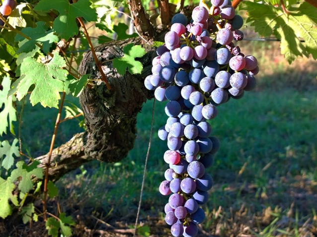 nebbiolo-grapes-doc