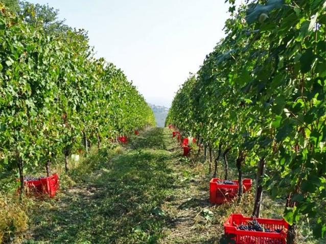 grape-harvest-italy-2016-piedmont